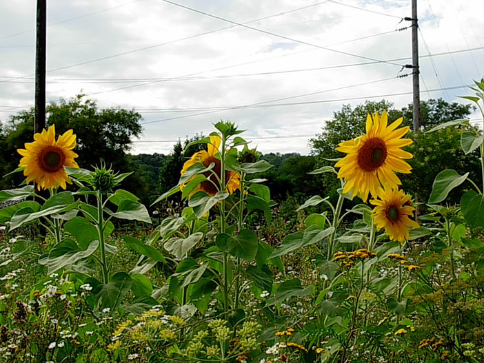 ithaca-community-garden-toms-sunflowers